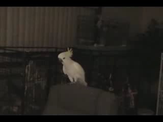 Попугай танцует DANCE