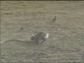 Кролик атакует змею! шок!