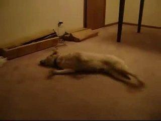 Кошмарный сон у собаки - Приколы на ЯПлакалъ