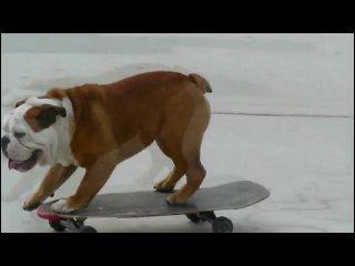 Собаки тоже умеют кататься на скейтбордах )