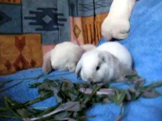 ♥ Карликовые кролики.Барашки ♥
