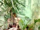 Голубой Морфо (Morpho Macropthalmus, Morpho Peleides)