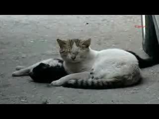 Кот пытается вдохнуть жизнь в кошку (Видео берет за душу)