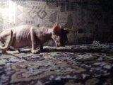 кот Кеша кушает арбуз