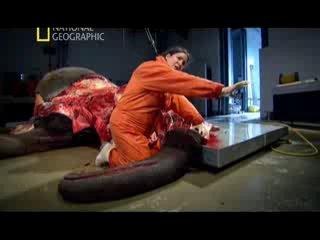 Анатомия крупнейших животных 2 серия ( Слон )