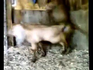 Обезьяна vs Овца (Zoo porno) все как у людей!