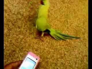 из цикла танцующие животные-только в роли танцора-попугай