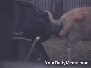 Засунул голову в задницу овцы