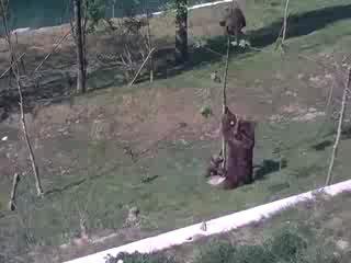 Мама-медведица пытается снять с дерева своего малыша