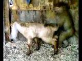 Обезьяна ебёт козу