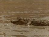 Жизнь животных. Плотоядные.Крокодил