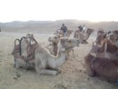 Верблюд жуёт