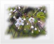 Альбом.  Цветущая вишня.  Автор.  Оцените фотографии (27 голосовало) .