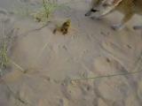 Фенёк охотится на скорпиона