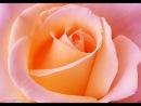 Эти все цветы только для тебя милая О РОЗЫ РОЗЫ