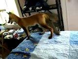 My pet red fox on my mattress