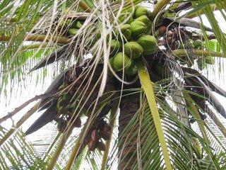 Как выжить на необитаемом острове. Часть 1. Добыча кокоса.