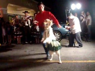 Танцующий лабрадор/голден ретривер