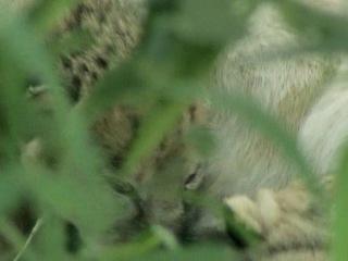 Дневник большой кошки Big Cat Diary Сезон 1 серия 3 из 6