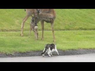 Олениха затоптала собаку