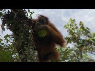 BBC: Жизнь 10. Приматы / Life. Primate (2009)
