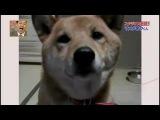 Собака с регулятором громкости