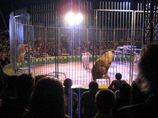 цирк Корона львы и львицы
