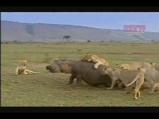 Прайд львов пытается съесть живого бегемота.