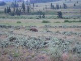 Черный медведь прогуливается вдоль дороги, Йеллоустоун