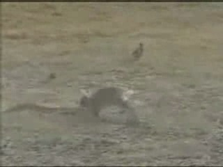 Бешаный кролеГъ атакует змею (прикол)