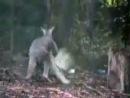 Мощная драка кенгуру с птицей