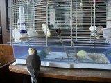 Кузя корелл - говорящий попугай!