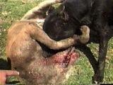 Последствия собачьих боев!!!