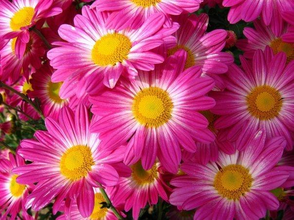"""Темы  """"Цветы """" для Nokia Asha 200."""