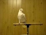 Мое любимое видео с танцующим попугаем:)