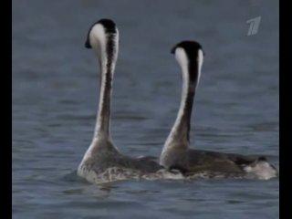 ВВС Жизнь - Брачный танец птиц Поганок(НУ ОЧЕНЬ МИЛО)