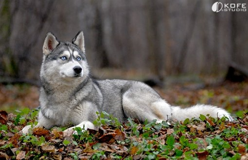 Сибирские хаски.  Самое прекрасное существо на свете.