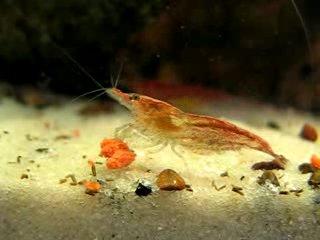 Креветка вишня (Red Cherry Shrimp)