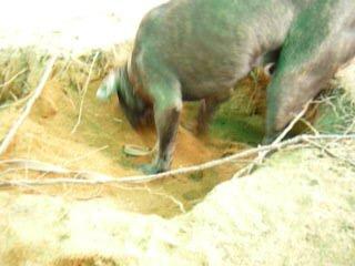 Маленький кане корсо Деф в поисках трюфелей.