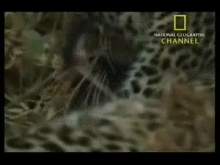 Леопард - добро в дикой природе