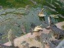 Кормление крокодилов курицей 1