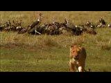 BBC Король лев. Приключения в саванне.