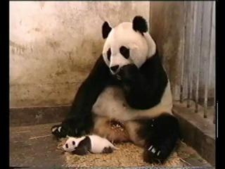 Посмотрите как чихают маленькие панды :)