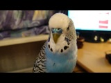 Говорящий волнистый попугай Кеша