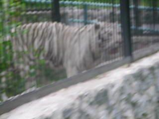 Тигр альбинос)))))))