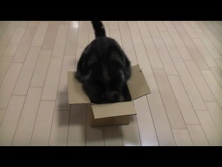 Кот Мару и коробка...худеть надо