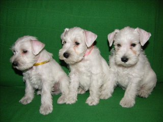 щенки белого цвергшнауцера (Estrella's Favorito kennel)