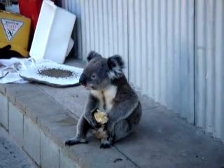 Печальная коала ест яблоко и оглядывается на свою жизнь