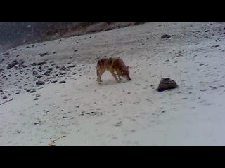 дикий волк вживую на природе.