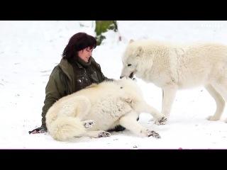 ( 720) белые волки и девушка :*